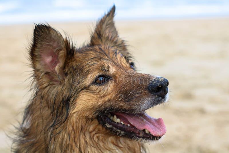 Perro de pastor hermoso foto de archivo libre de regalías