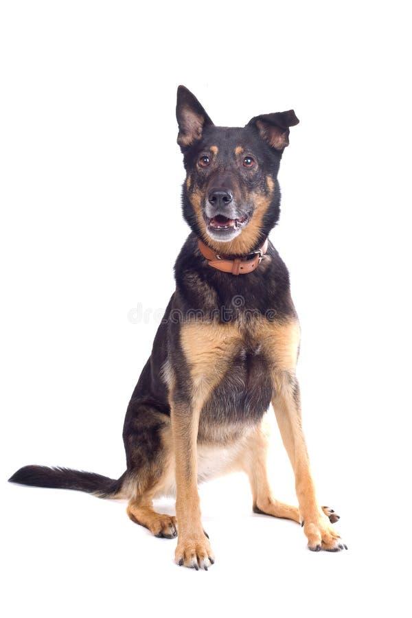 Perro de pastor mezclado de la casta foto de archivo libre de regalías