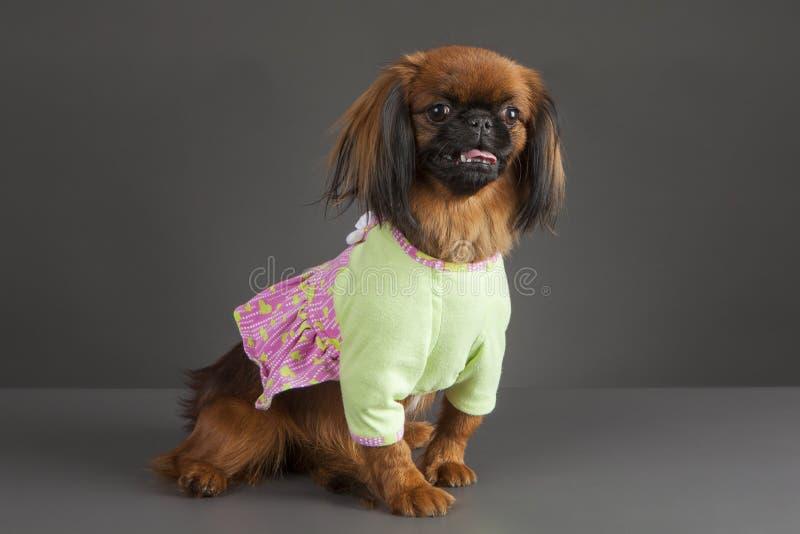 Perro de Pekingese imagenes de archivo