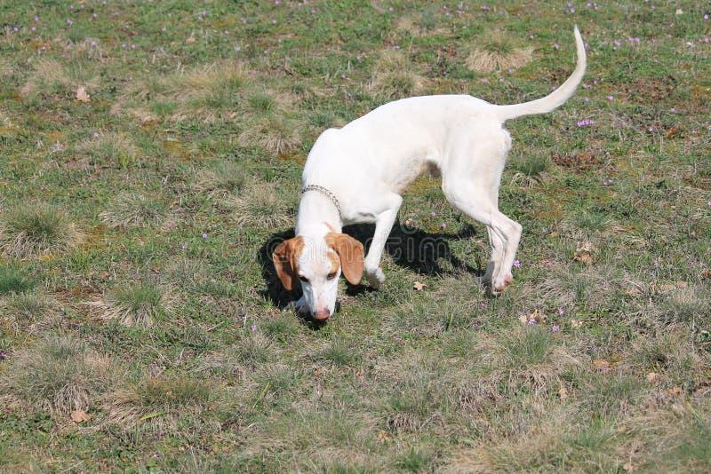 Perro de pelo corto de Istrian foto de archivo