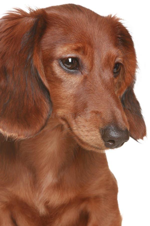 Perro de pelo largo del Dachshund foto de archivo libre de regalías