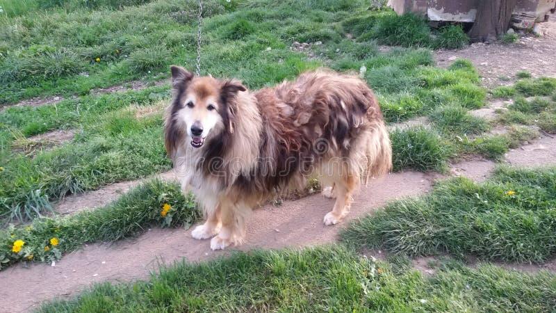 Perro de pelo largo muy viejo en patio trasero fotografía de archivo libre de regalías