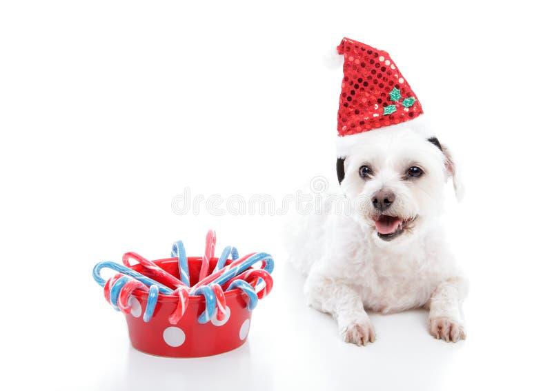 Perro de perrito al lado del tazón de fuente de candycanes de la Navidad imagen de archivo