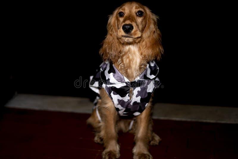 Perro de perrito cocker spaniel con el poncho mimético imágenes de archivo libres de regalías
