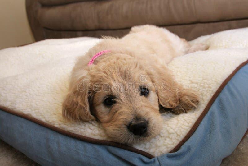 Perro de perrito de Goldendoodle imagen de archivo libre de regalías