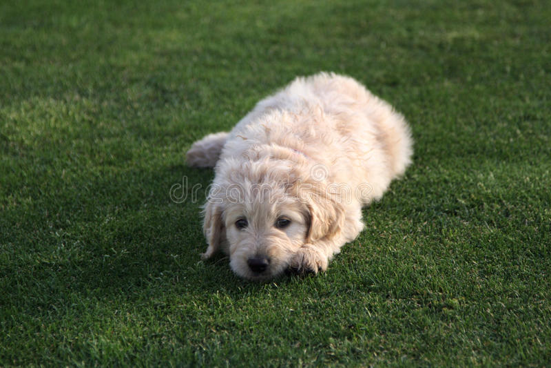 Perro de perrito de Goldendoodle en hierba imagen de archivo