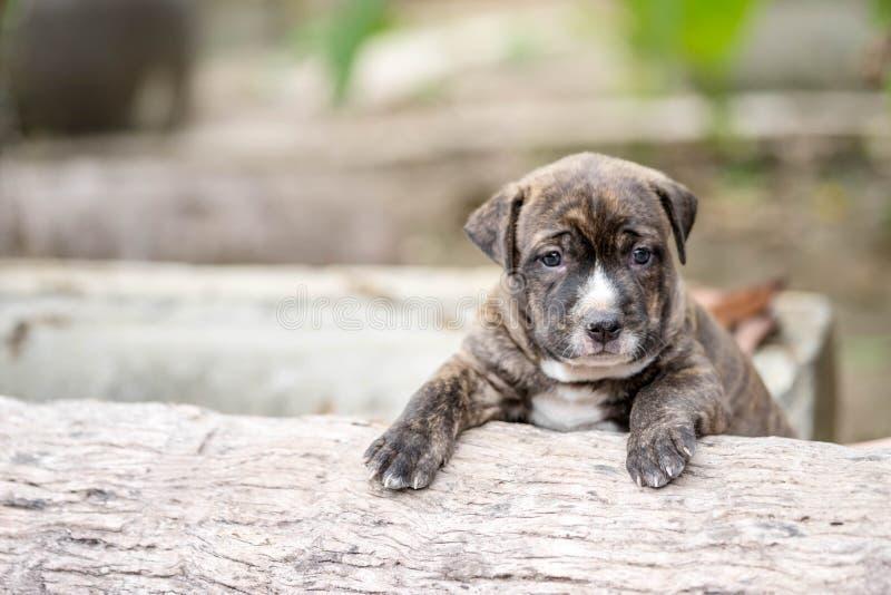 Perro de perrito de Pitbull imagen de archivo