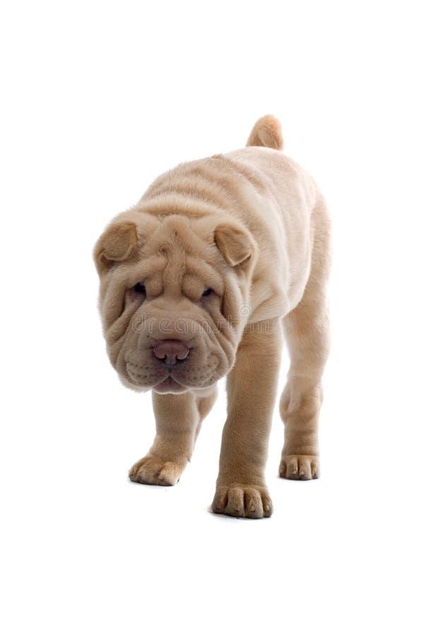 Perro de perrito de Shar-Pei fotografía de archivo libre de regalías