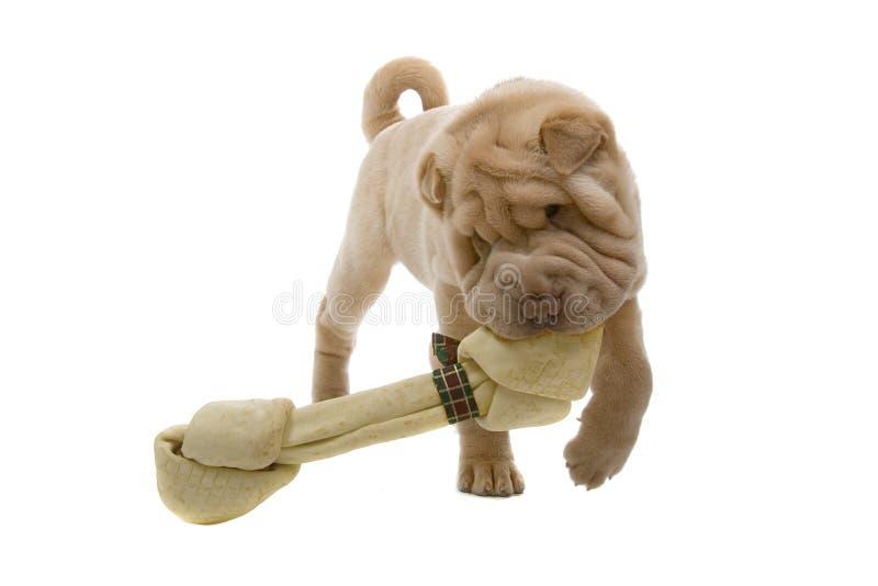 Perro de perrito de Shar-Pei con un hueso fotos de archivo libres de regalías