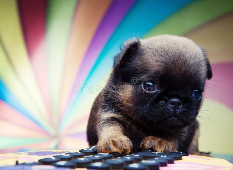 Perro de perrito del bebé de la chihuahua en calidad del estudio fotos de archivo libres de regalías