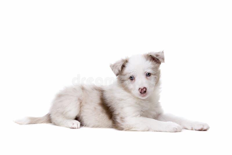 Perro de perrito del border collie imagen de archivo