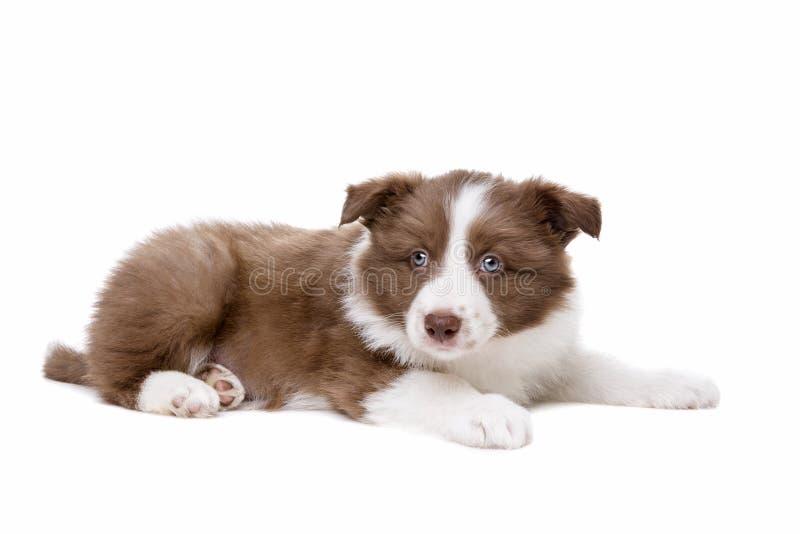 Perro de perrito del border collie fotos de archivo libres de regalías