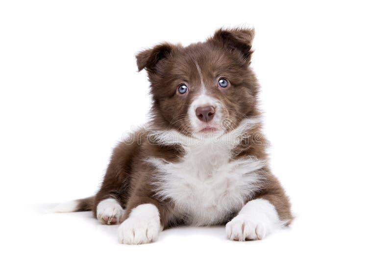 Perro de perrito del border collie imágenes de archivo libres de regalías