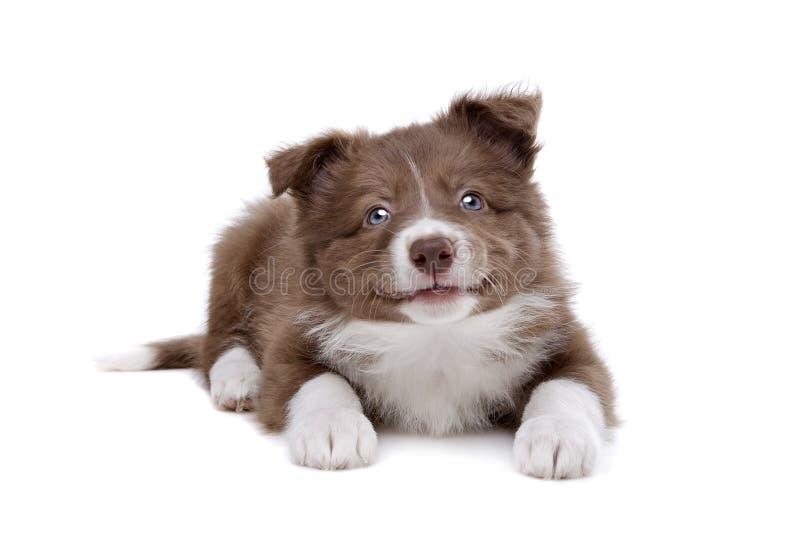 Perro de perrito del border collie fotografía de archivo libre de regalías