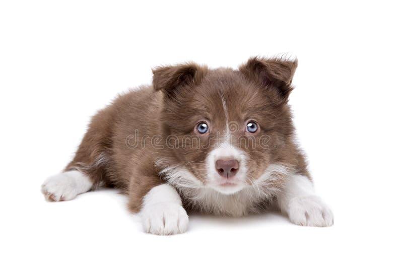 Perro de perrito del border collie fotos de archivo