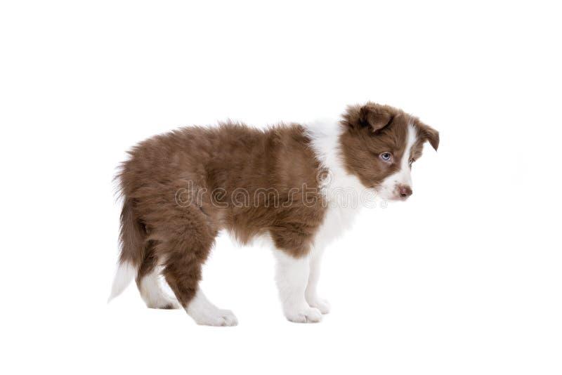 Perro de perrito del border collie imagen de archivo libre de regalías