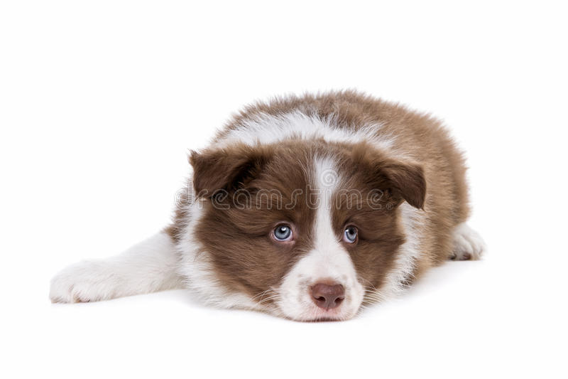 Perro de perrito del border collie imagenes de archivo