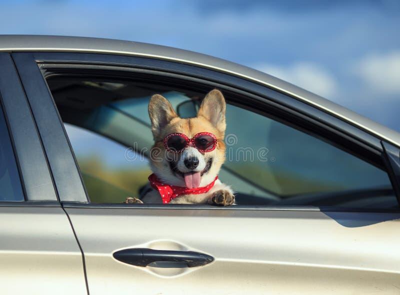 perro de perrito del corgi del pasajero en gafas de sol, él se pegó la cara bonita hacia fuera con su lengua y patas de la ventan foto de archivo libre de regalías