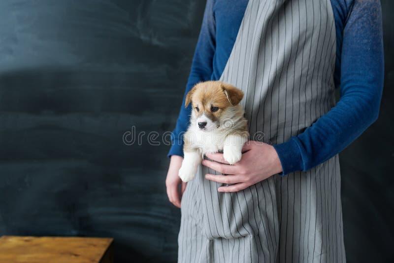 Perro de perrito del Corgi que sienta un bolsillo del delantal imagenes de archivo
