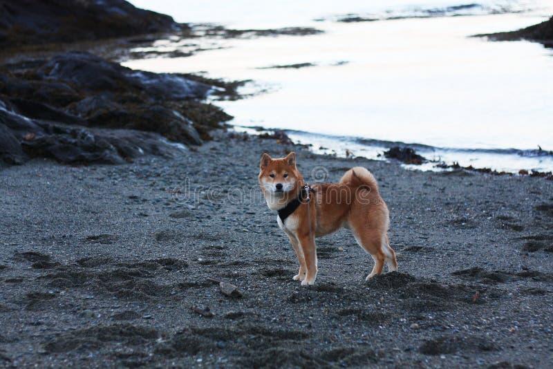 Perro de perrito del inu de Shiba en la playa en Noruega imagenes de archivo