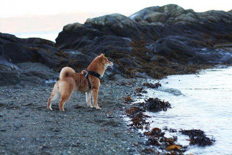 Perro de perrito del inu de Shiba en la playa en Noruega fotografía de archivo
