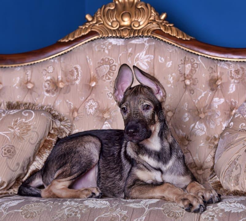 Perro de perrito en el sofá fotografía de archivo