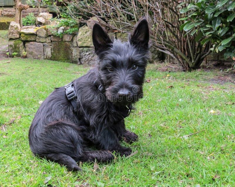 Perro de perrito escocés del terrier que se sienta en un jardín fotografía de archivo