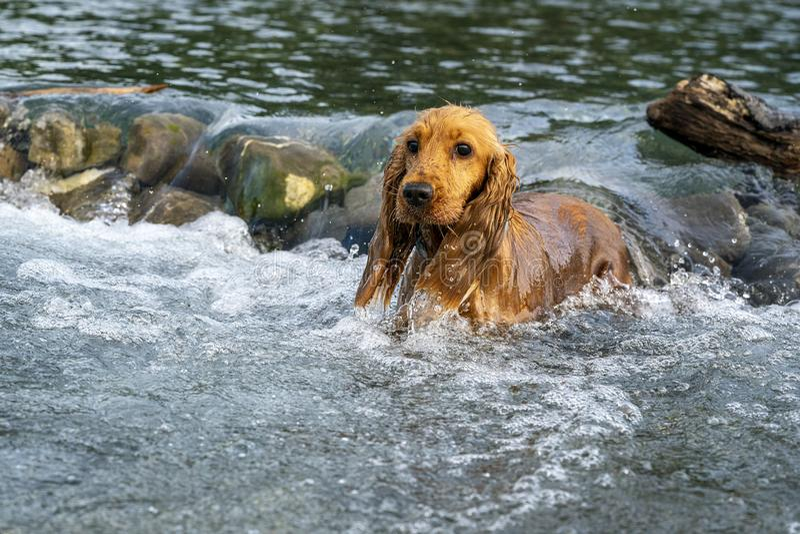 Perro de perrito feliz cocker spaniel en el río foto de archivo