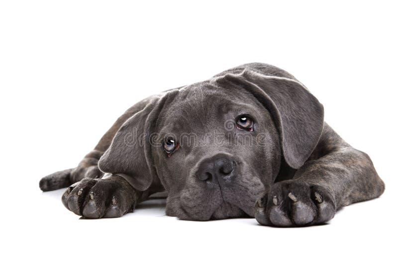 Perro de perrito gris del corso del bastón imagen de archivo