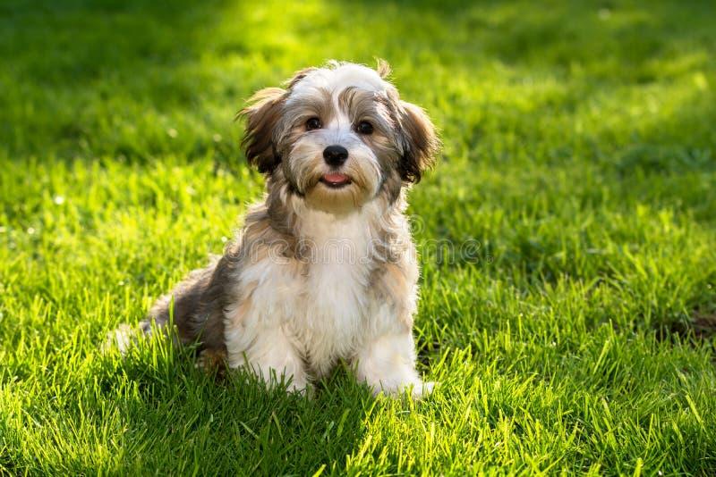 Perro de perrito havanese feliz en la hierba foto de archivo