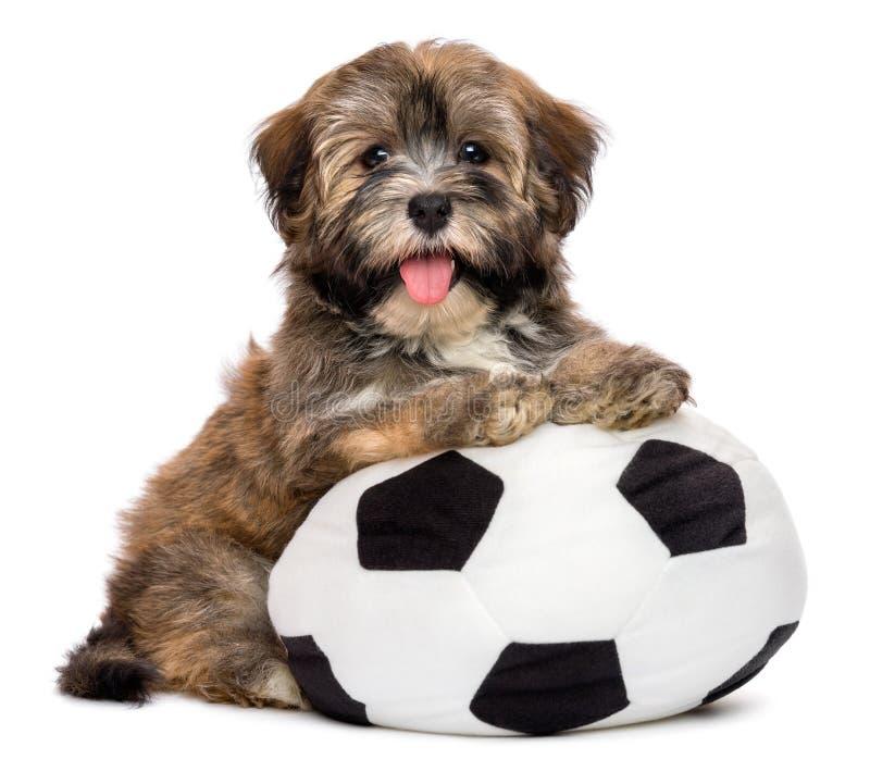 Perro de perrito havanese feliz lindo que juega con un juguete del balón de fútbol fotos de archivo