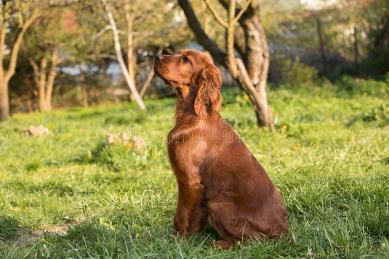 Perro de perrito de Irish Setter foto de archivo libre de regalías