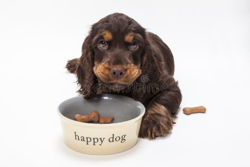Perro de perrito lindo de cocker spaniel que come las galletas en cuenco imágenes de archivo libres de regalías
