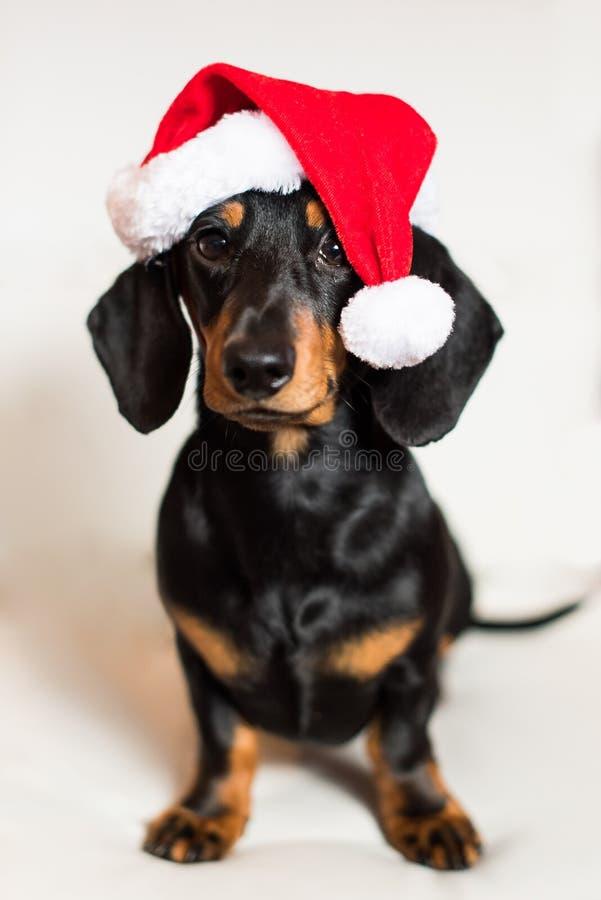 Perro de perrito lindo del perro basset de la Navidad imagenes de archivo
