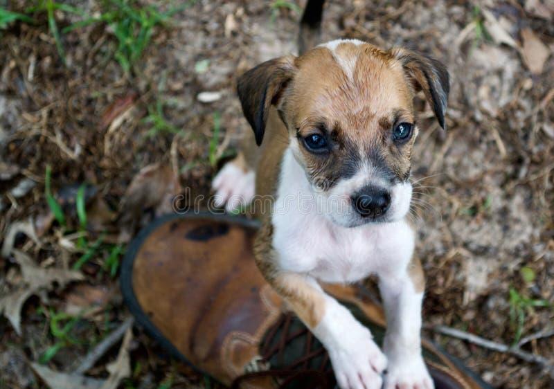 Perro de perrito lindo que coloca a Hind Legs Looking Up imagen de archivo libre de regalías