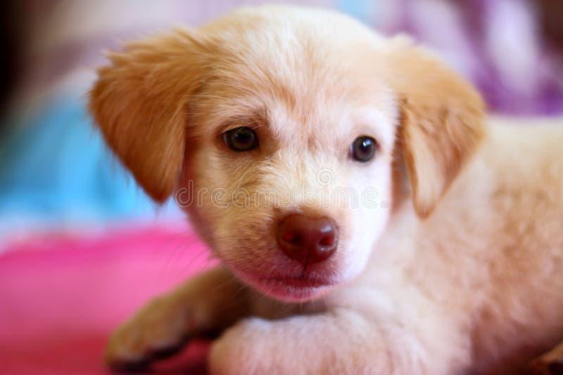 Perro de perrito lindo que descansa sobre la cama fotografía de archivo libre de regalías