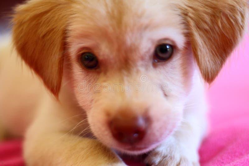 Perro de perrito lindo que descansa sobre la cama fotos de archivo libres de regalías