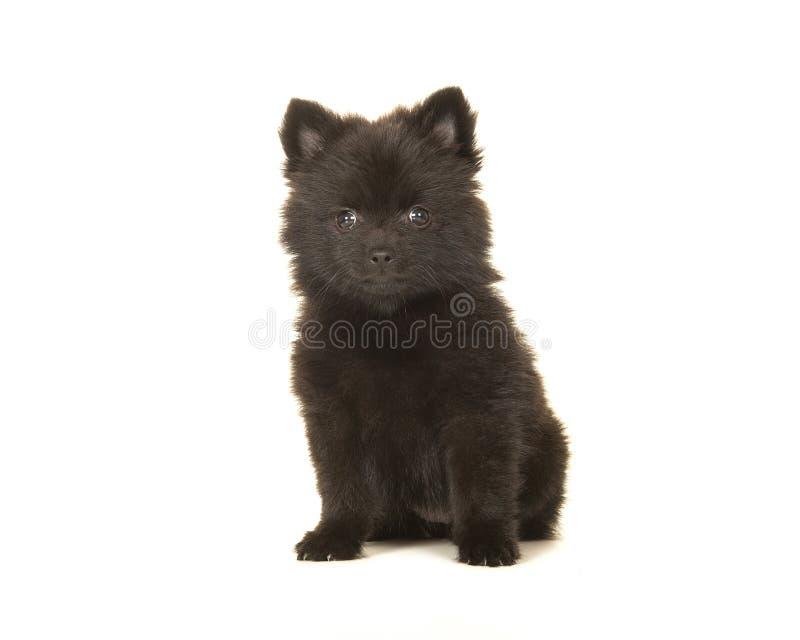 Perro de perrito pomeranian del negro lindo de la sentada aislado en una parte posterior del blanco fotos de archivo libres de regalías