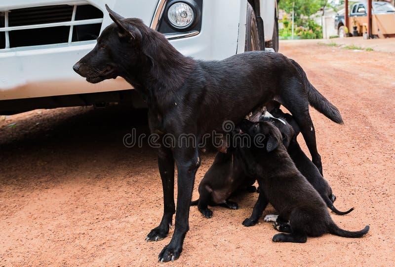 perro de perrito que come la leche materna imagen de archivo