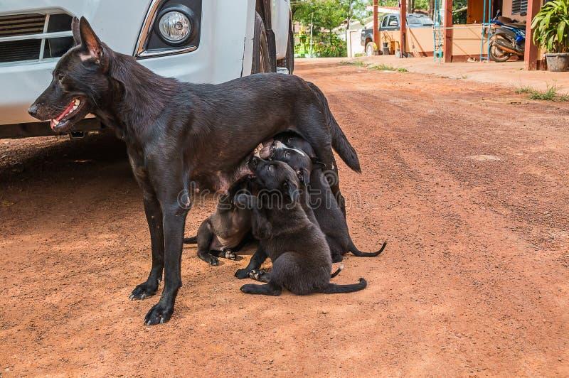 perro de perrito que come la leche materna fotografía de archivo libre de regalías