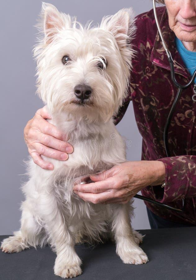 Perro de perrito que consigue una verificación de salud en el veterinario fotografía de archivo