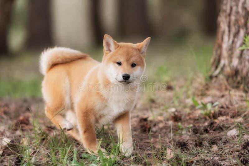 Perro de perrito rojo joven hermoso de Shiba Inu fotografía de archivo