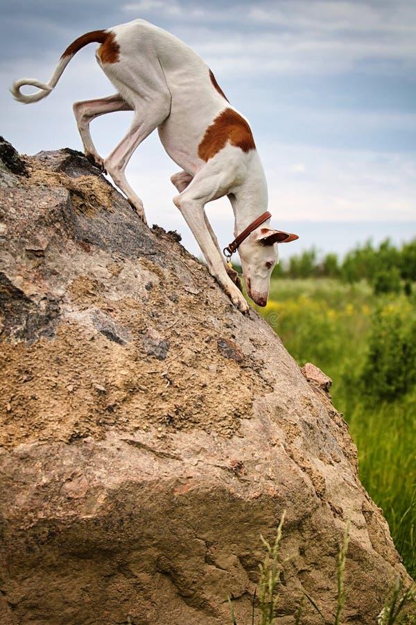 Perro De Perro De Ibizan Imagen de archivo libre de regalías