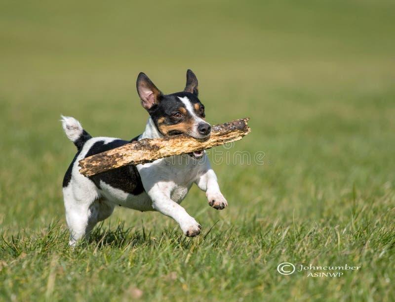 Perro de Plyfull que trae un palillo fotos de archivo