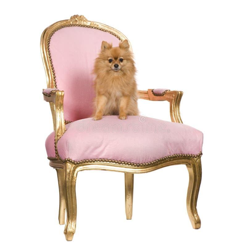 Perro de Pomerania (6 años) imagen de archivo