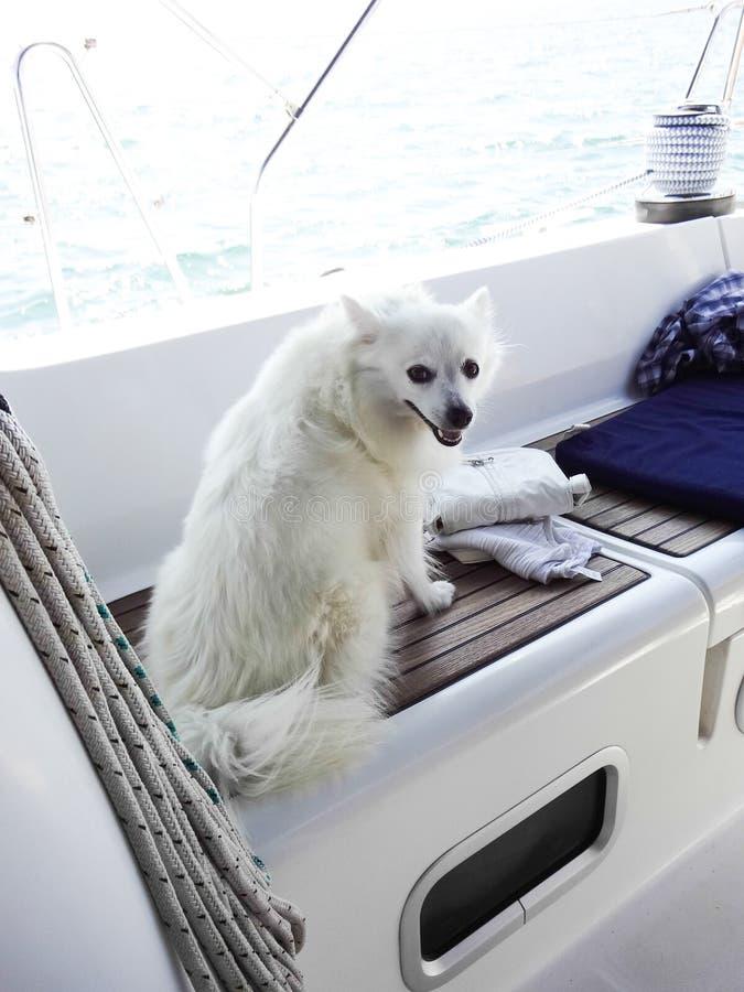 Perro de Pomerania alemán imágenes de archivo libres de regalías