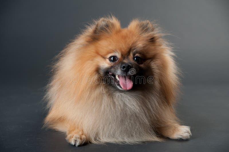 Perro de Pomerania enano en un estudio fotografía de archivo
