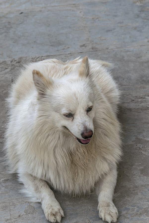 Perro de Pomerania indio de los COCOS que se relaja en piso fotos de archivo