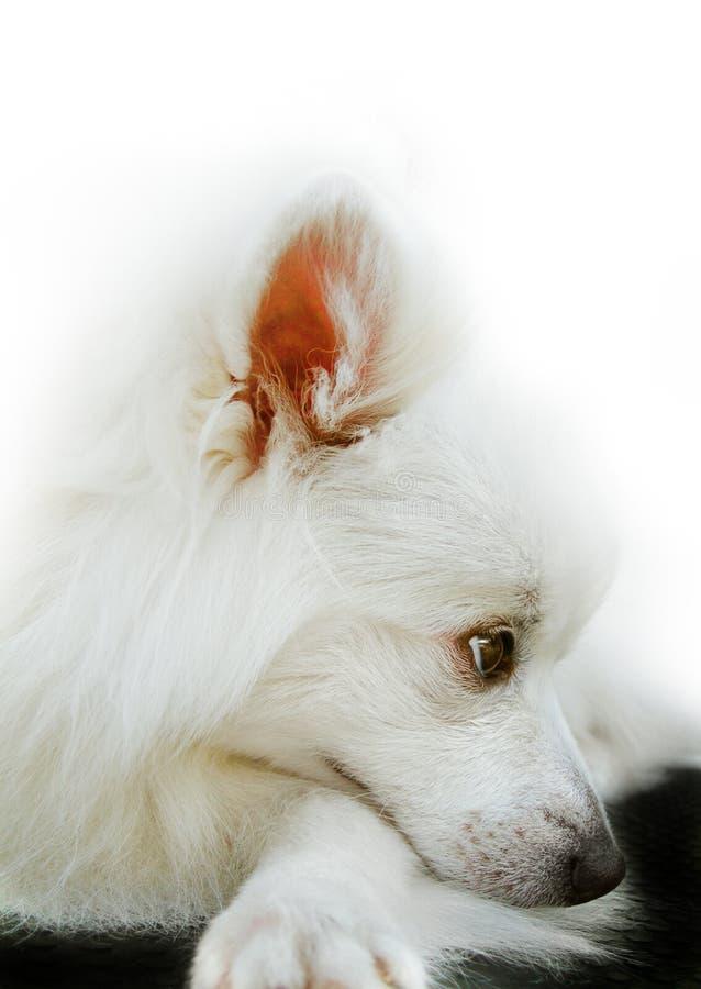 Perro de Pomerania japonés. imagen de archivo libre de regalías