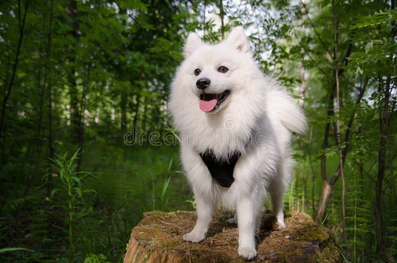 Perro de Pomerania japonés foto de archivo